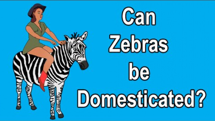 CAN ZEBRAS BE DOMESTICATED?